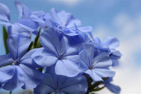 Fiori Azzurri Estivi by Plumbago Pianta Ricanti Caratteristiche Della