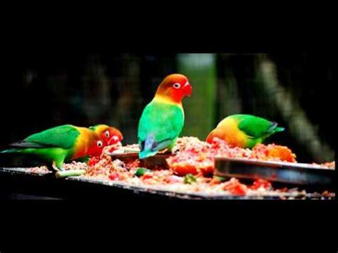 Doping Lovebird Best dunia hobi terapi kandang umbaran bikin lovebird ngek