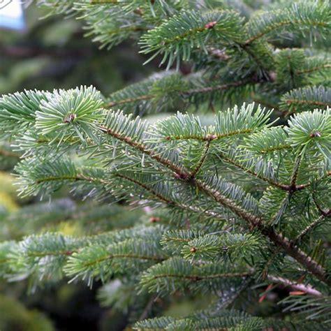 abies nordmanniana nordmann fir tree shrub majestic