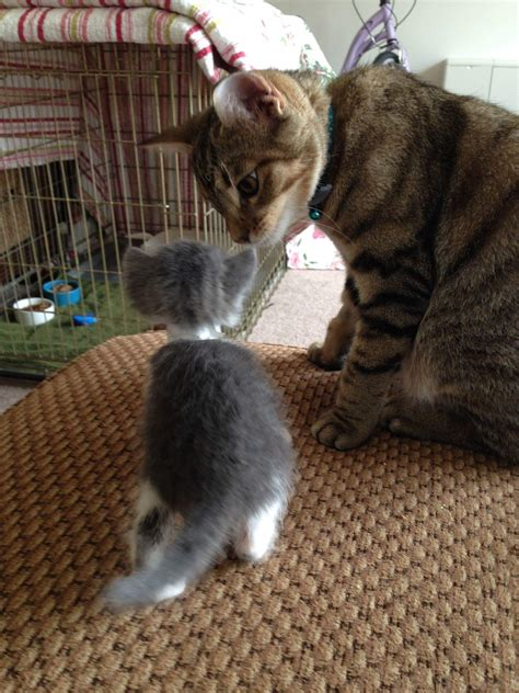 introducing a new how to introduce kittens cats kittens