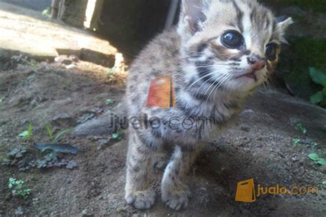 Jual Kandang Kucing Bekas Wilayah Malang blacan kucing hutan malang gedangan jualo