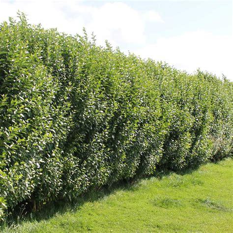 privet hedge plants ligustrum ovalifolium hedging