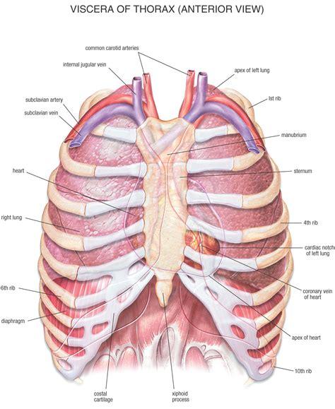 Hb anatomy thorax