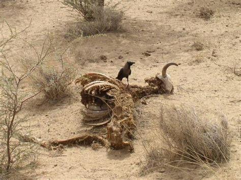 thar desert animals the gallery for gt thar desert animals