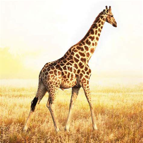 imagenes de jirafas con mensajes 100 foto animali 7 risposta di livello leopardo