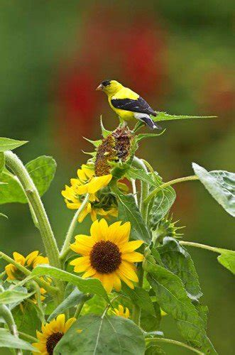 how to attract goldfinches with your garden birds and blooms