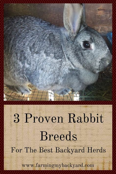 backyard herds 3 proven rabbit breeds for the best backyard herds farming my backyard