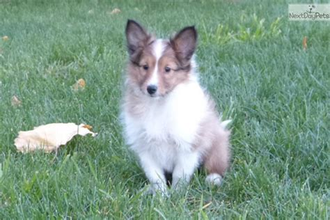sheltie puppies for sale in indiana shetland sheepdog sheltie puppy for sale near fort wayne indiana 08e7a494 2831