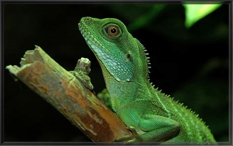 chinese water dragon wikipedia