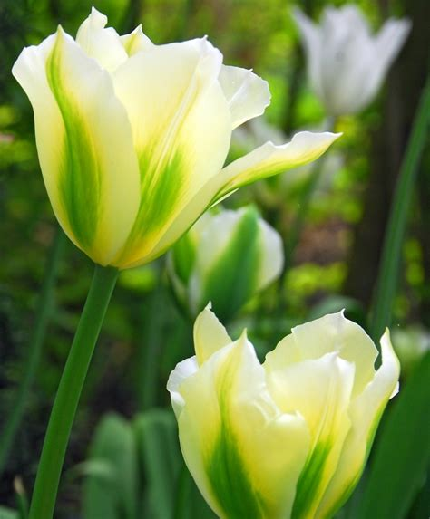 tulip spring green green tulips tulips flower bulb index