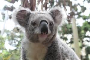 month of australia koalas wombats wallabies oh my