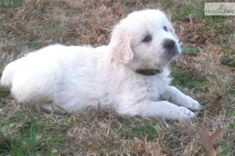 golden retriever breeders tx bred golden retriever puppies for sale dallas tx dallas breeds picture