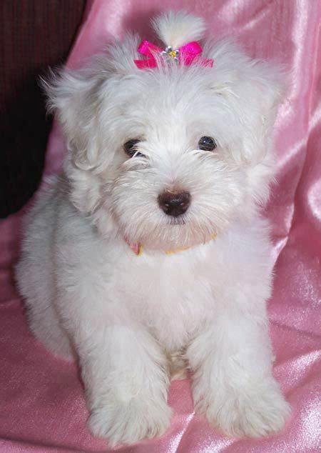 mini maltese puppies honey the mini maltese puppies daily puppy