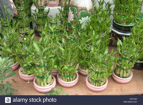 new year bamboo plant spirally bamboo plants for feng shui ornamental decoration