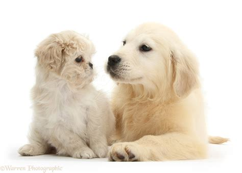 shih tzu and golden retriever shih tzu golden retriever mix www pixshark images galleries with a bite