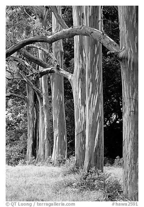 Black and White Picture/Photo: Rainbow Eucalyptus trees