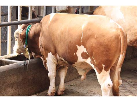 Jual Bibit Sapi Limosin Jawa Tengah jual sapi bakalan jual sapi bakalan jawa tengah jual