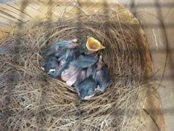 Telur Bebek Berprotein Tinggi cara merawat piyik burung anis trend burung