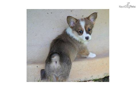 white corgi puppies for sale corgi pembroke puppy for sale near southeast missouri missouri 88d23e02 99f1