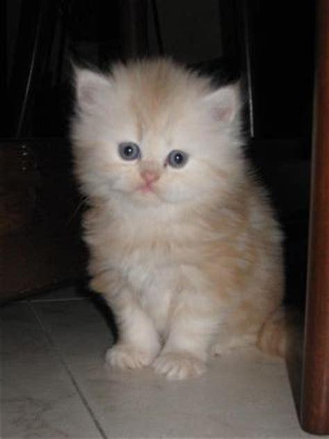 gatti persiani gratis cuccioli gatti persiani piemonte annunci trovalo