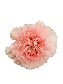 carnations in bulk pink carnations in bulk metropolitan wholesale metropolitan wholesale