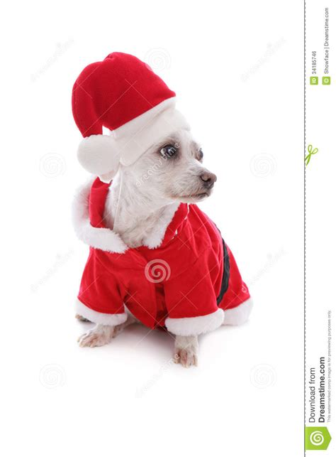 white dog wearing a santa claus suit and looking up stock