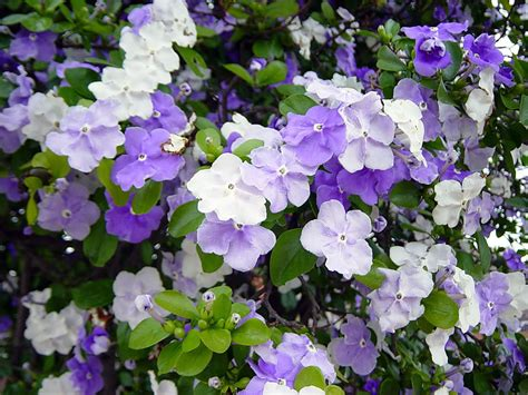 Indoor Flower Plants by Plants Amp Flowers 187 Brunfelsia Pauciflora