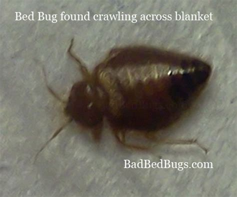photo  bed bug crawling  night