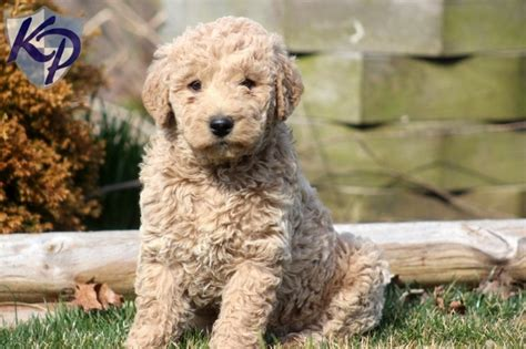 labradoodle puppies in pa 1000 ideas about labradoodle puppies for sale on labradoodle