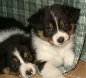 Australian shepherd puppy pictures puppy pictures and information