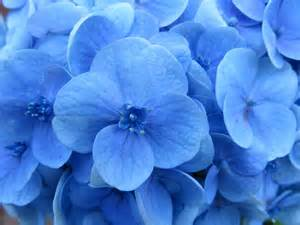 popular types of blue flowers blooms today
