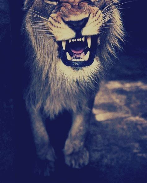 imagenes de leones swag lion psy gif find share on giphy