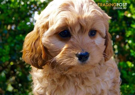 cavoodle puppies for sale cavoodle puppies for sale sydney for sale in sydney nsw cavoodle puppies for sale sydney