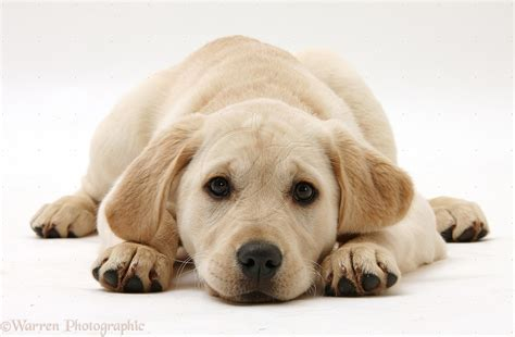 labrador retriever puppies golden labrador retriever puppies 36 widescreen wallpaper dogbreedswallpapers