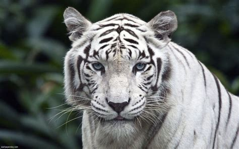 White Face Tiger