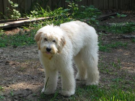 how to cut a goldendoodles hair labradoodle haircut styles isn t it drastic