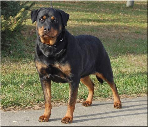 rottweiler breeders in va rottweiler puppies virginia dogs in our photo