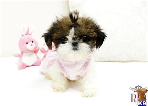 teacup shih tzu puppies for sale in houston shih tzu puppy for sale amazing shih tzu teacup for sale 6 years