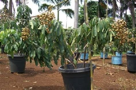 Bibit Mangga Chokanan Trubus tanaman buah