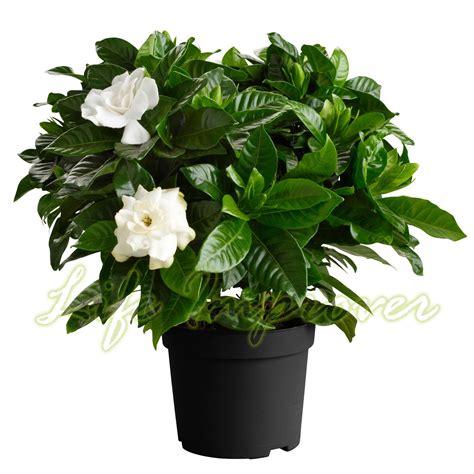 scented fragrance gardenia jasmine evergreen indoorn