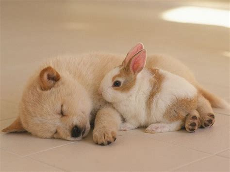 bunny puppy photo puppy and bunny a puppy sleeping with a rabbit 1600 1200 52 wallcoo net