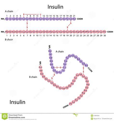insulin diagram structure of human insulin stock vector illustration of