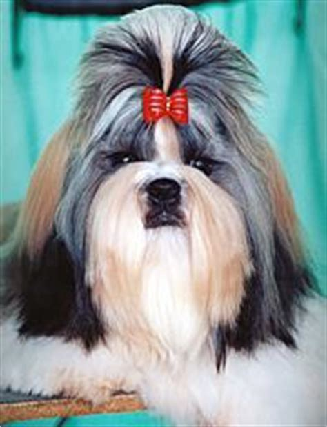 what is the average lifespan of a shih tzu breed profile