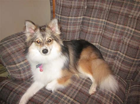 pomeranian sheltie mix poshies pomeranian and sheltie mix pictures and information