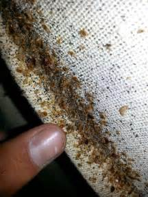 bed bugs on a mattress carpet beetles vs bed bugs bed bug treatments removal