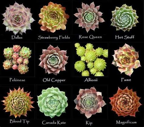 25 best ideas about types of succulents on pinterest