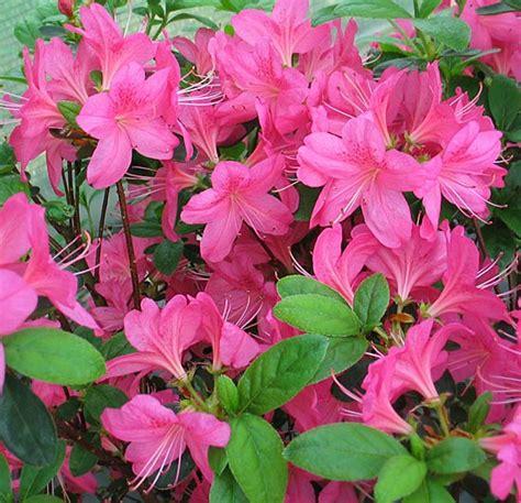 Augusta Luise 946 by розы Tantau сирень рододендроны хвойные роза Barkarole