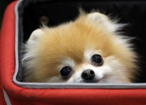 Pomeranians Shed by A List Of Teacup Breeds Pethelpful