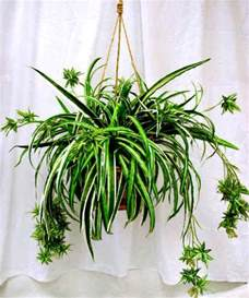 Flowers Poisonous To Cats - tyler greener living spider plants chlorophytum hard