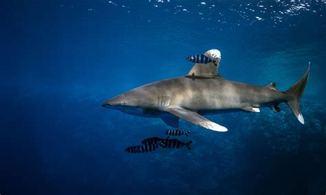 most dangerous most dangerous sharks in the world